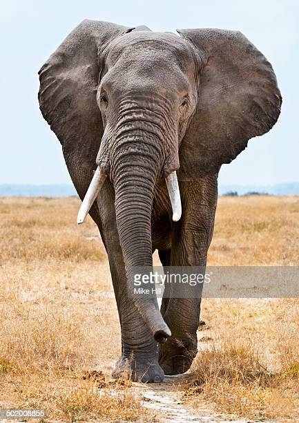 Male African Elephant walking