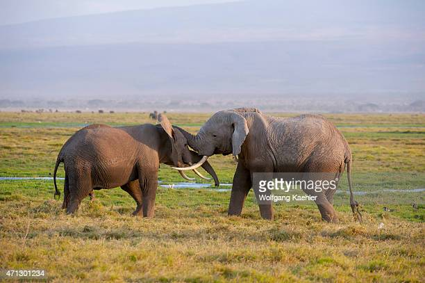 Male African elephants sparing in Amboseli National Park in Kenya