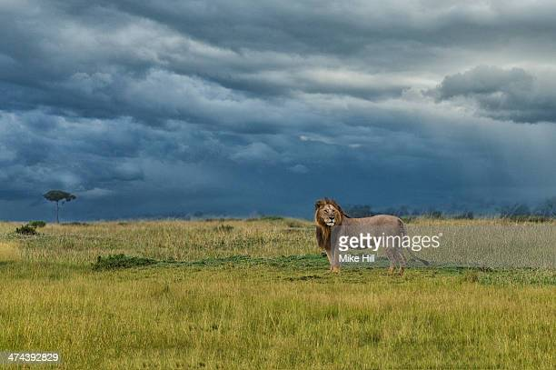 Male African lion against stormy sky