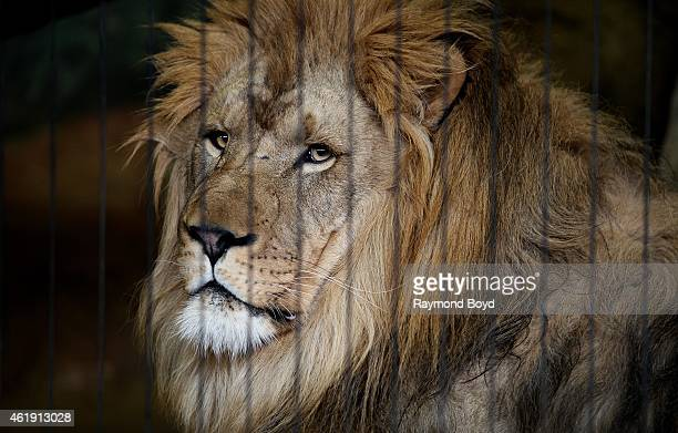 Male African Lion at Lincoln Park Zoo in Chicago on January 15 2015 in Chicago Illinois