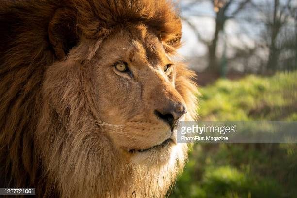 A male African lion at the Big Cat Sanctuary in Smarden Kent on February 7 2019