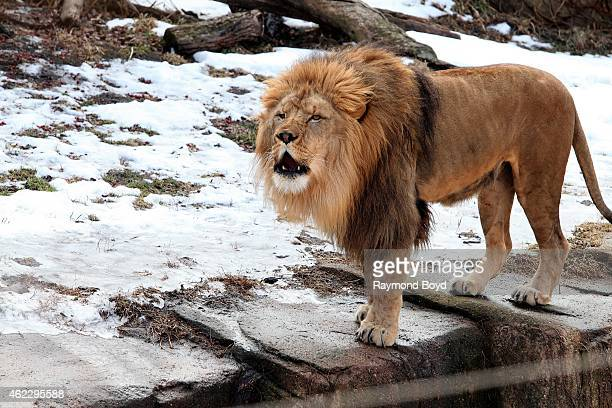 Male African Lion growls at the crowd at Lincoln Park Zoo in Chicago on January 19 2015 in Chicago Illinois