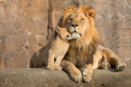 Male African lion is cuddled by his cub during an affectionate moment 933863084