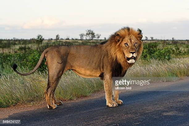 Male African Lion on a road Kruger National Park South Africa