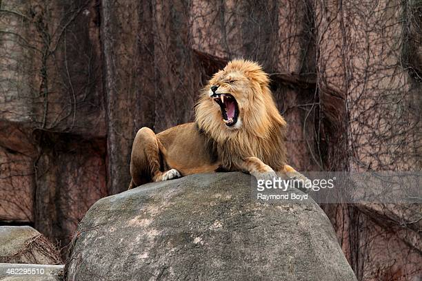 Male African Lion puts on a 'roaring' show at Lincoln Park Zoo in Chicago on January 19 2015 in Chicago Illinois