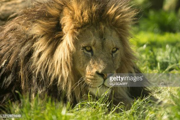 A male African lion rests in its enclosure at Knowsley Safari near Liverpool northern England on May 14 whilst the safari park is closed to visitors...