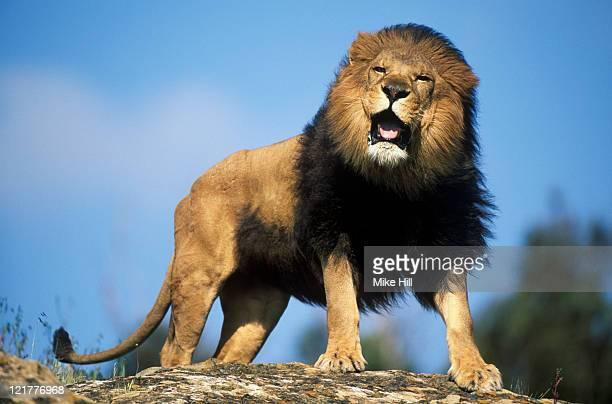 male african lion (panthera leo) roaring, masai mara national park, kenya (animal model) - leon fotografías e imágenes de stock