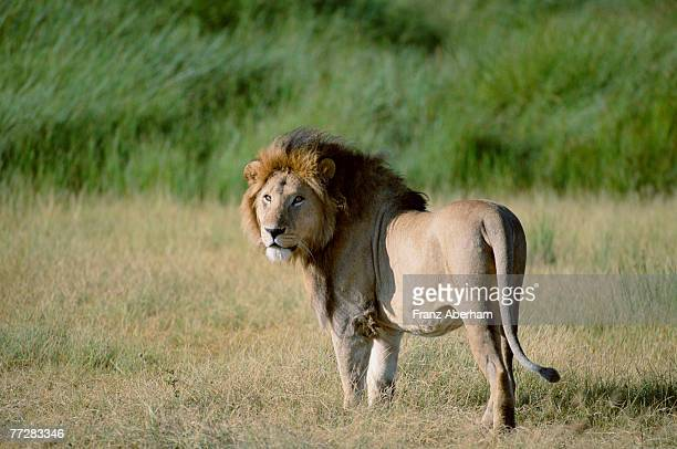 Male African lion standing in savannah