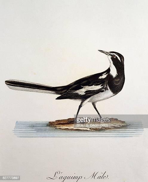 Male African Pied Wagtail , engraving from the Histoire Naturelle des Oiseaux d'Afrique by Francois Le Vaillant . France, 18th-19th century.