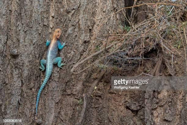 A male Agama lizard sitting on a tree trunk in the Samburu National Reserve in Kenya