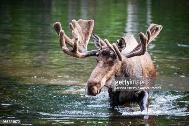 Male Alaska moose (Alces alces gigas) in Sand Lake, Anchorage, Alaska, USA
