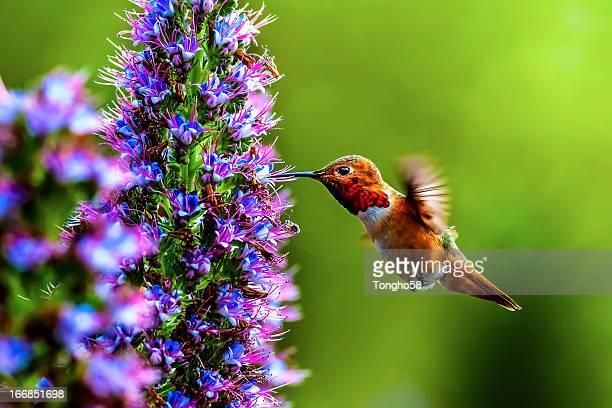 male allen's hummingbird - beija flor imagens e fotografias de stock
