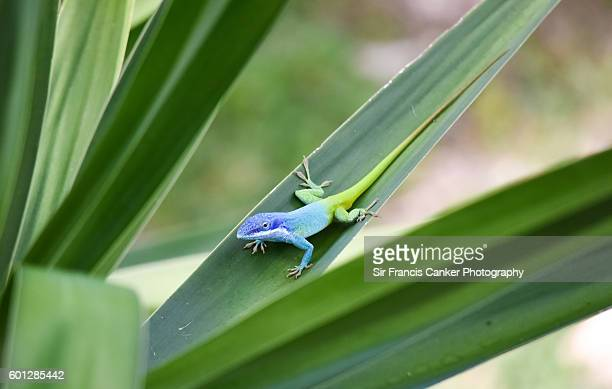male allison's anole (aka blue-headed anole) in cayo santa maria, cuba - iguana family stock photos and pictures