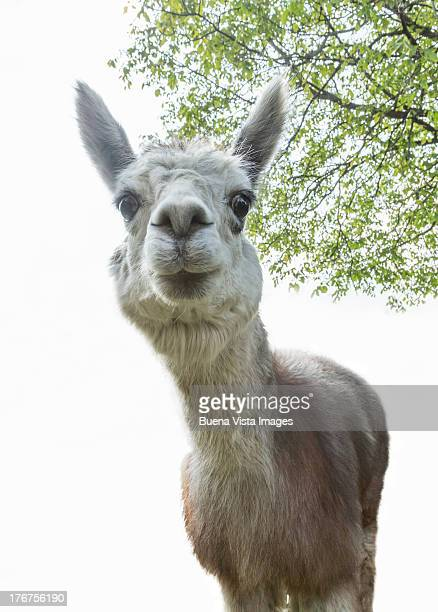 Male alpaca looking at camera