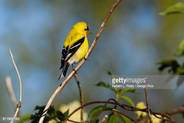 a male american goldfinch (spinus tristis) perches in a bush - american goldfinch stock pictures, royalty-free photos & images