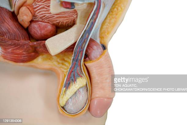 male anatomical model - testis stock pictures, royalty-free photos & images