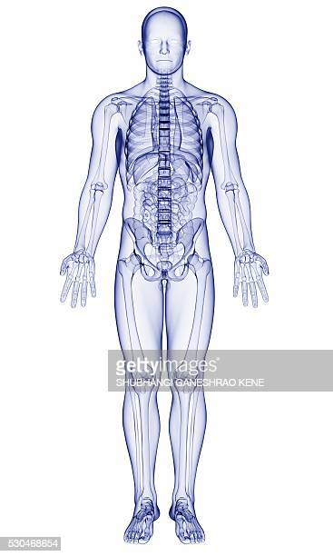 male anatomy, computer artwork. - human skeleton stock pictures, royalty-free photos & images