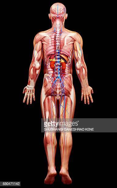 Male anatomy, computer artwork.