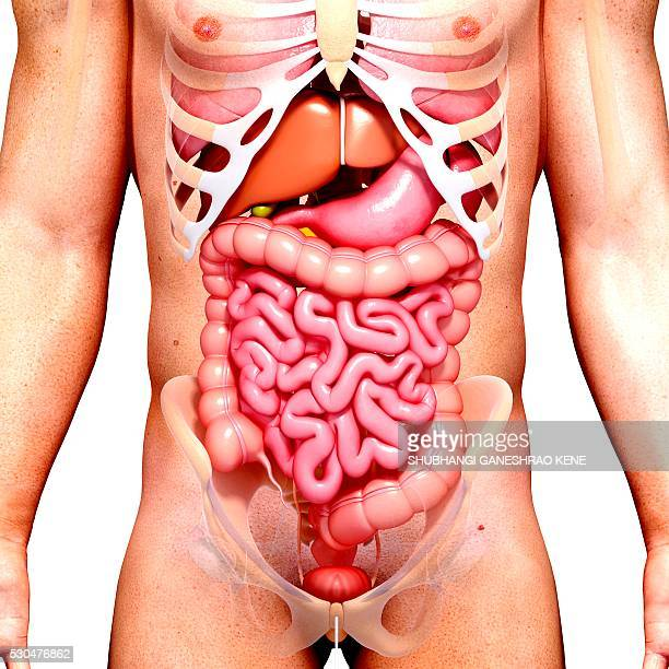 male anatomy, computer artwork. - human intestine stock photos and pictures