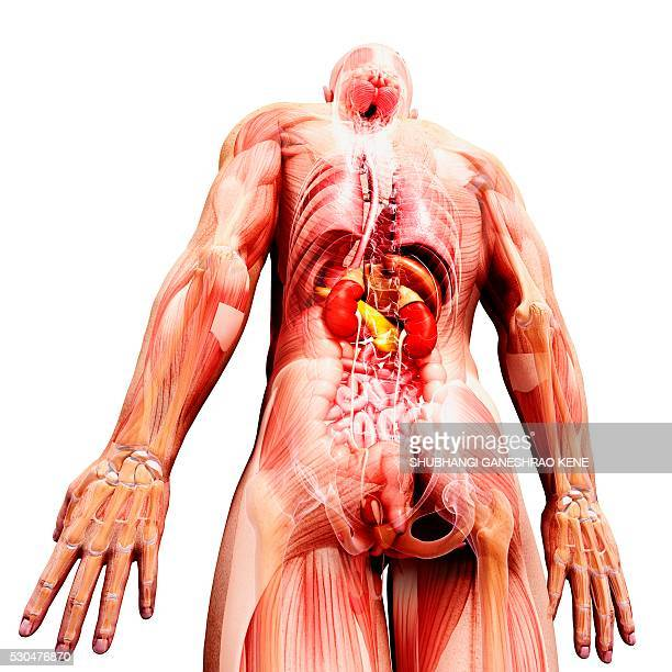 male anatomy, computer artwork. - human liver stock photos and pictures