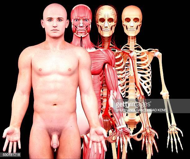 male anatomy, computer artwork. - menschliches skelett stock-fotos und bilder