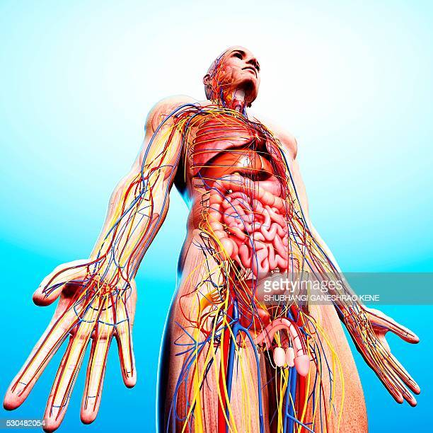 male anatomy, computer artwork. - scrotum stock pictures, royalty-free photos & images