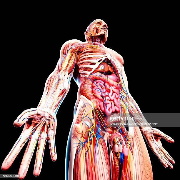 male anatomy, computer artwork. - scrotum stock photos and pictures