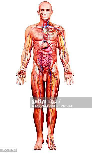 male anatomy, computer artwork. - cardiac muscle tissue stock photos and pictures