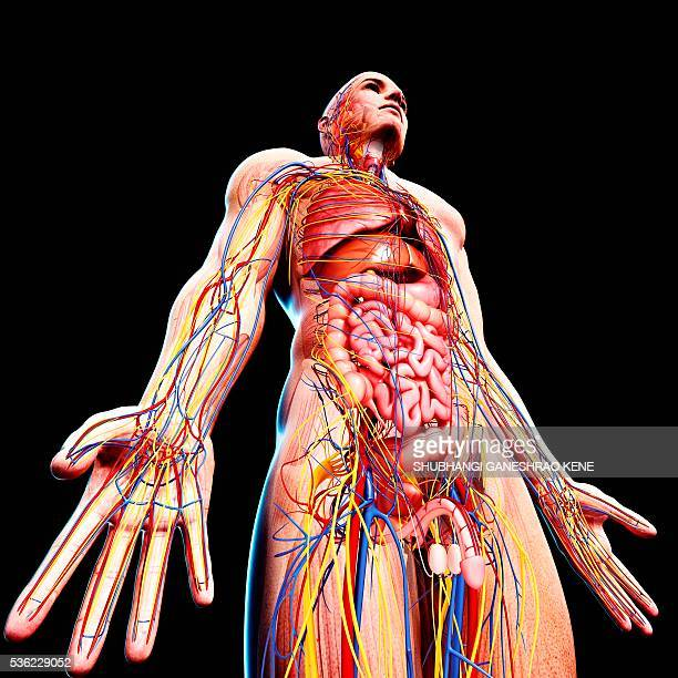 male anatomy, computer artwork. - male genital organs stock pictures, royalty-free photos & images