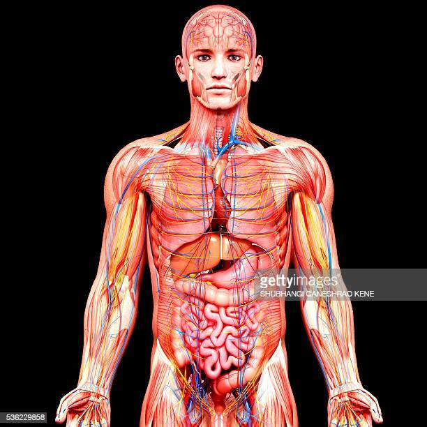 male anatomy, computer artwork. - gall bladder stock pictures, royalty-free photos & images
