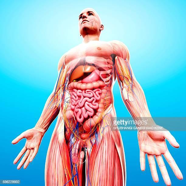 male anatomy, computer artwork. - scrotum photos et images de collection