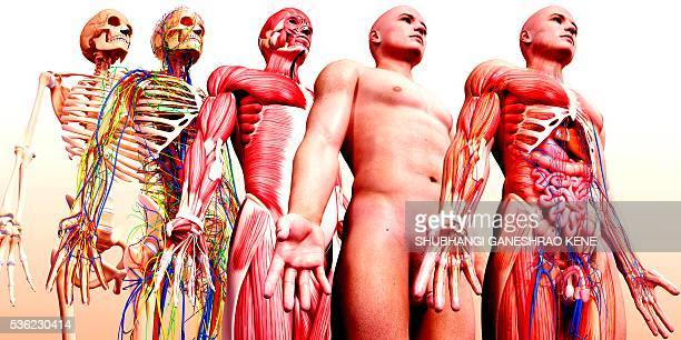Male anatomy, computer artwork.