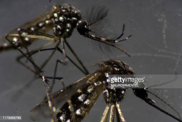 Male and a female Aedes aegypti mosquitos are seen through a microscope at the Oswaldo Cruz Foundation laboratory in Rio de Janeiro, Brazil, on...