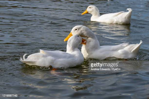 male and female american pekin ducks biting necks, also known as long island or aylesbury ducks - pekin duck stock pictures, royalty-free photos & images