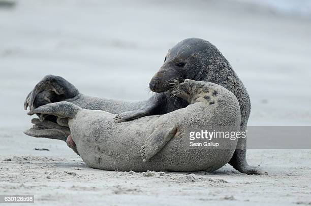 Male and female Atlantic grey seals mate on the beach on December 16 2016 on the Duene portion of Heligoland archipelago Germany A local...