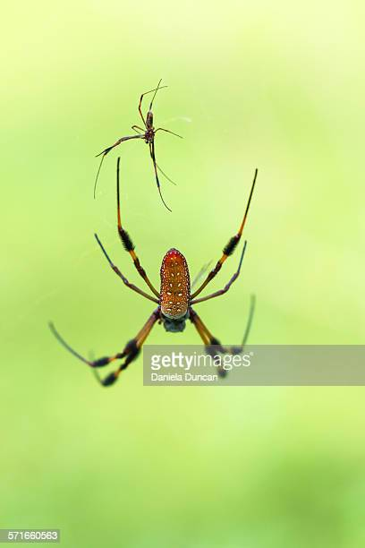 male and female banana spiders - female animal stock pictures, royalty-free photos & images