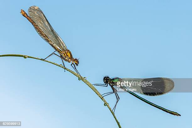 Male and female Banded Demoiselle on a reed Bude England