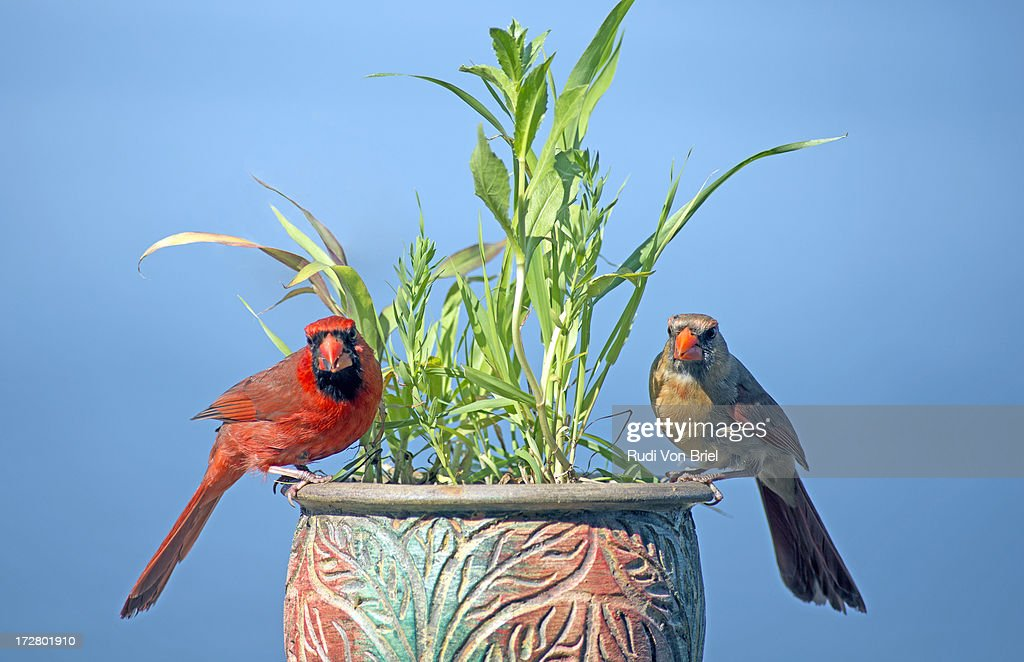 Male and female cardinals. : Stock Photo