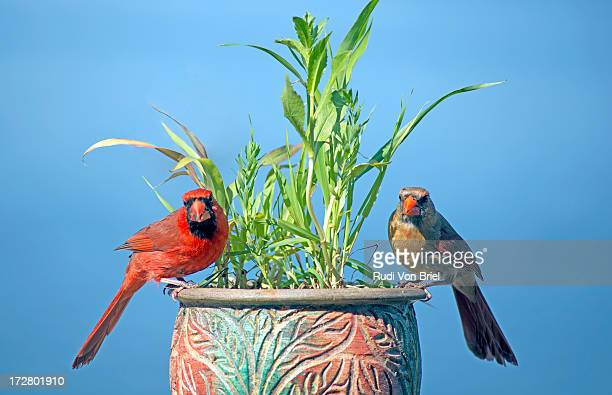 male and female cardinals. - blue cardinal bird stock pictures, royalty-free photos & images