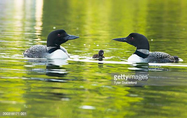 male and female common loons (gavia immer) with day old chick, summer - common loon stock pictures, royalty-free photos & images