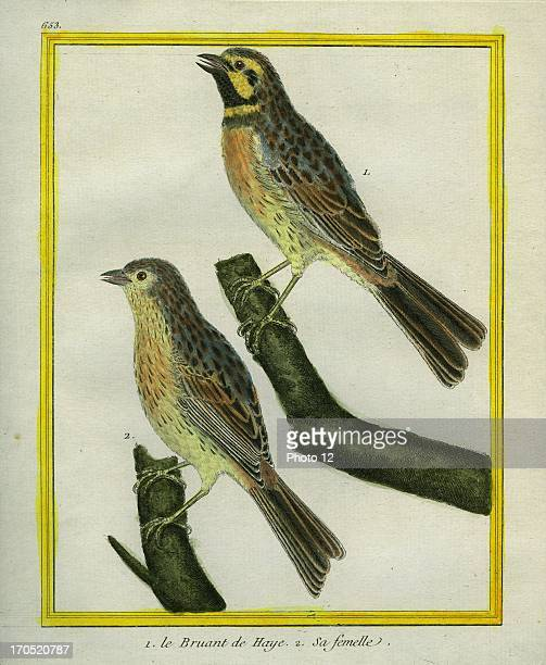"""Male and Female Dunnock, Prunella modularis.1 - Dunnock2 - The Female.Georges-Louis Leclerc, Comte of Buffon. """"Natural History of birds, fish,..."""