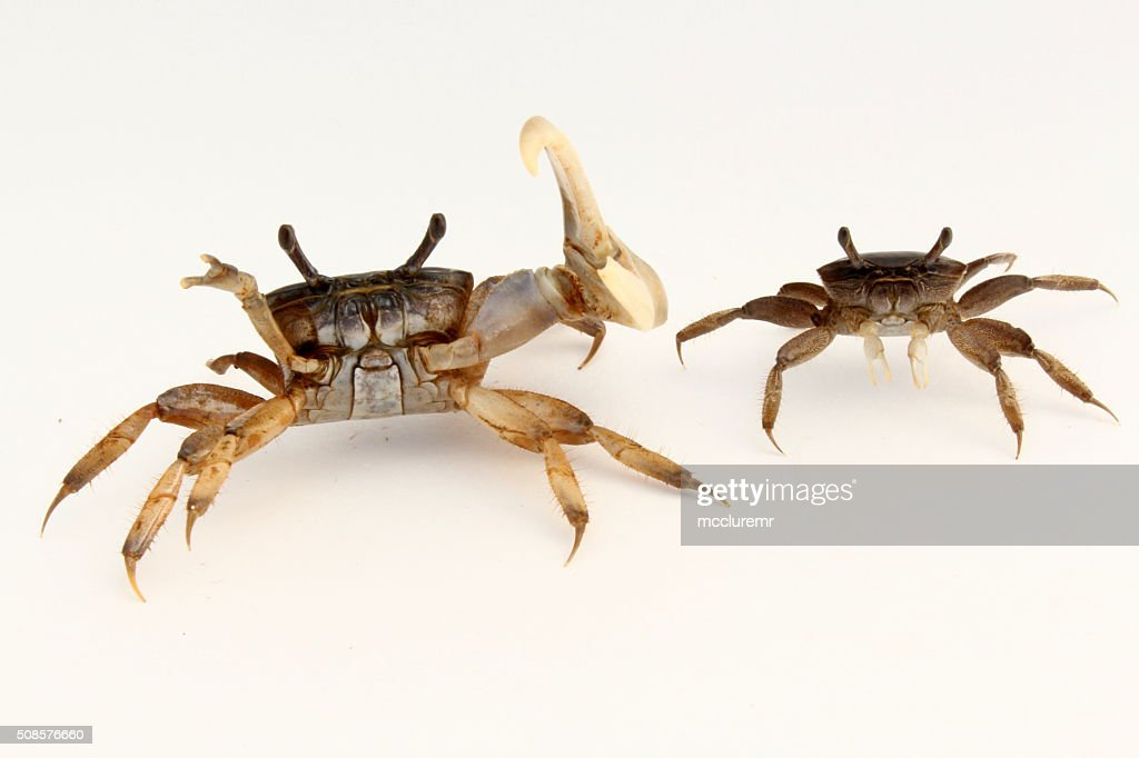 Male and female fiddler crabs : Stock Photo