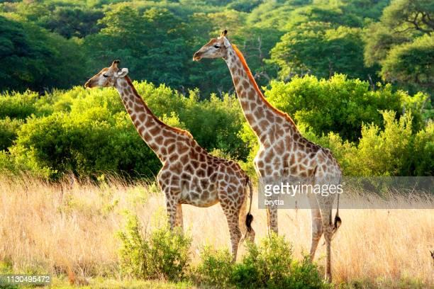 jirafa macho y hembra en el parque nacional hwange, zimbabwe - zimbabwe fotografías e imágenes de stock
