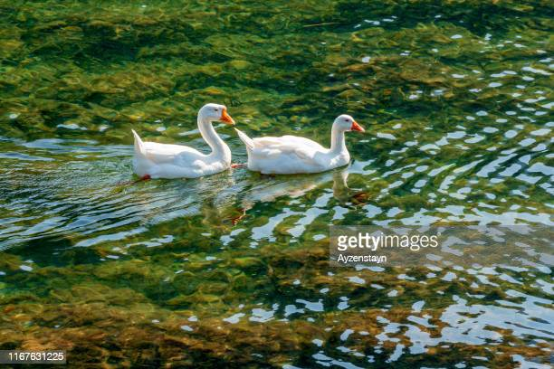 male and female goose on water - freshwater bird stock photos and pictures