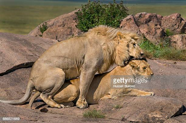 male and female lion on kopje mating - male animal stock pictures, royalty-free photos & images