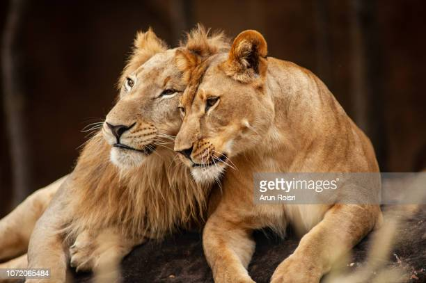 male and female lions  lying down together on the ground - wilde tiere stock-fotos und bilder