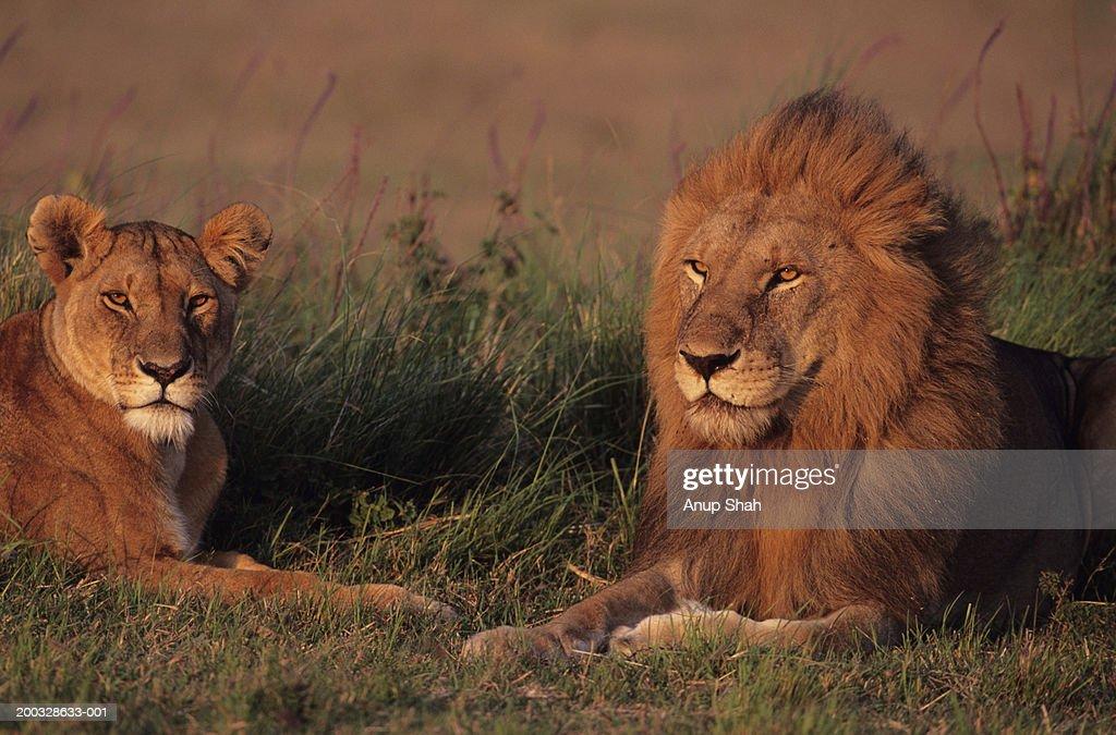 Male and female lions (Panthera leo) lying on grass savannah, Kenya : Stock Photo