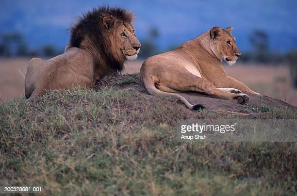 Male and female lions (Panthera leo), resting on savannah, Kenya