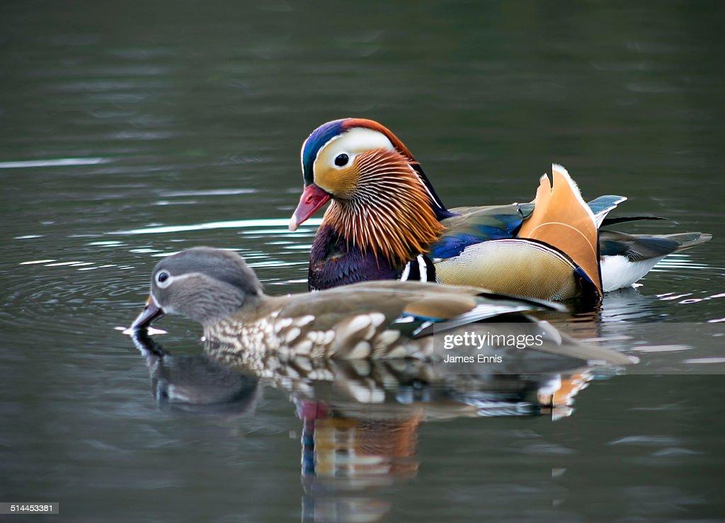 Male And Female Mandarin Ducks Stock Photo
