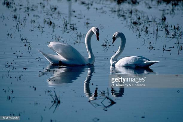 male and female mute swans - alamany fotografías e imágenes de stock